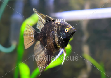 Aquarium Fish- Black Scalare In Water Stock Photo