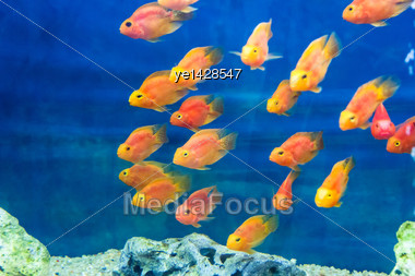 Aquarium Parrot Fish In Blue Water Stock Photo