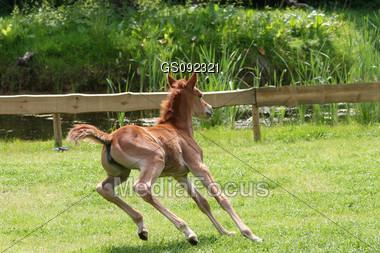 arab thoroughbred foal running around Stock Photo