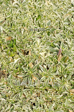Arabis Fern, Groundcover Plant, Decorative Texture In The Garden Stock Photo