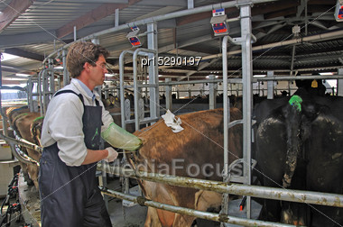 Artificial Insemination Technician Working On A Jersey Cow, Westland, New Zealand Stock Photo