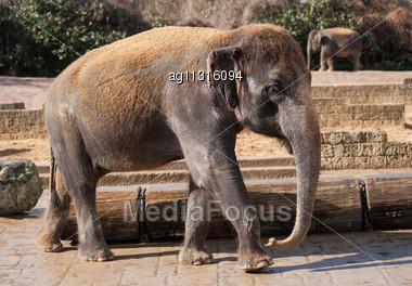 Asiatic Elephant: Animal Life In Asia. Elephas Maximus Stock Photo