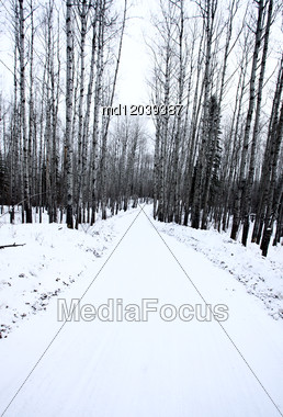 Aspen Trees Canada Saskatchewan Canada Winter Path Road Stock Photo