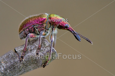 Attelabidae Rhynchites In The Brawn Colors Stock Photo