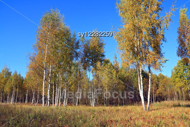 Autumn Birch Wood On Blue Background Stock Photo