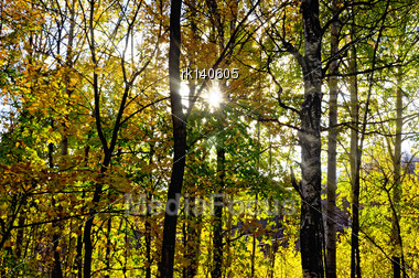 Autumn Forest With Yellow Leaves Of The Trees, The Sun Shines Through The Branches, Sky Stock Photo