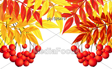 Autumn Frame With Rowan Leaves And Berries Over White Background. Elegant Design With Text Space And Ideal Balanced Colors. Vector Illustration Stock Photo
