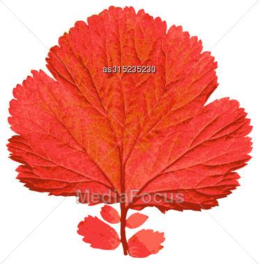 Autumn Leaf On White Background. Vector Illustration Stock Photo