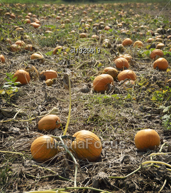 Autumn Pumpkin Patch. A Pumpkin Patch Ready To Be Harvested Stock Photo