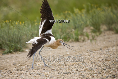 Avocet Warning On Road Wing Broken Saskatchewan Canada Stock Photo