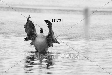 B&W Of A Canadian Goose Flapping Wings Stock Photo