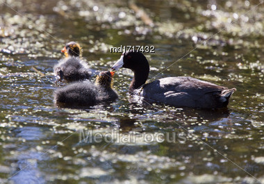 Baby Coot Waterhen In A Saskatchewan Canada Pond Stock Photo
