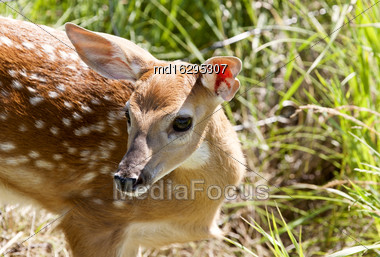 Baby Deer Doe Spotted Big Eyes Close Up Stock Photo