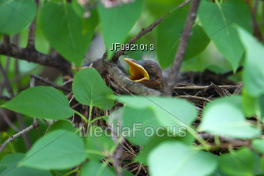 Baby Robin In The Nest Asking For A Meal Stock Photo