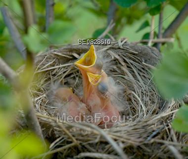 Baby Robins Stock Photo