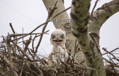 Baby Swainson Hawk In Nest Saskatchewan Canada Stock Photo