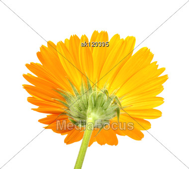 Back-side Of Orange Flower Close-up Studio Photography Stock Photo