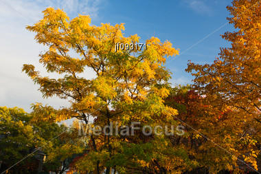Background Image Of Three Trees And Blue Sky Stock Photo
