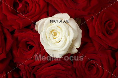 Background Is With Red Roses And One White Rose Stock Photo