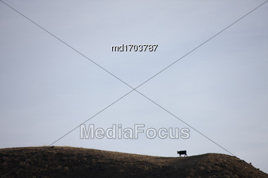 Badlands Canada Saskatchewan Big Muddy Cow On Hill Stock Photo