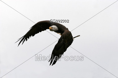 bald american eagle flying in the blue sky Stock Photo