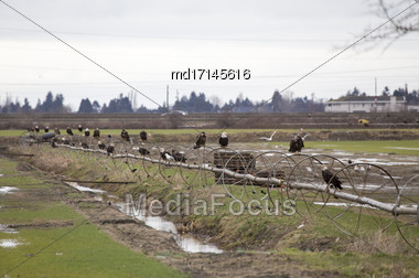Bald Eagle British Columbia Gathering Place Ladner Richmond Stock Photo