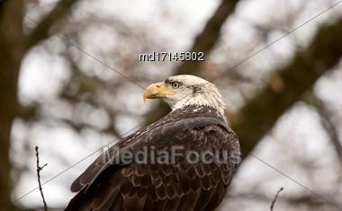 Bald Eagle British Columbia Gathering Place Ladner Richmond Stock Photo