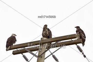 Bald Eagle British Columbia Male Female And Juvenile Stock Photo