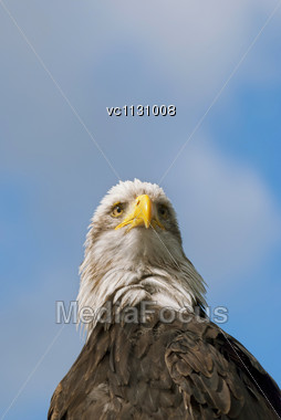 Bald Eagle (Haliaeetus Leucocephalus), A Bird Of Prey Found In North America, On Blue Sky Background Stock Photo