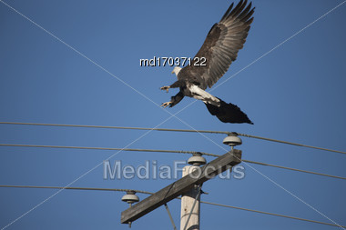 Bald Eagle In Flight In Saskatchewan Canada Stock Photo