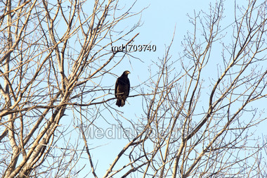 Bald Eagle In Tree In Saskatchewan Canada Stock Photo