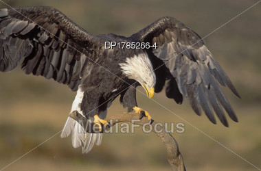 Royalty-Free Stock Photo: Bald Eagle Landing With Wings Spread