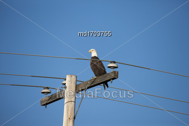 Bald Eagleon Post In Saskatchewan Canada Stock Photo