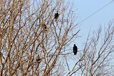 Bald Eagles In Tree In Saskatchewan Canada Stock Photo