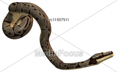 Ball Python Or Python Regius Isolated On White Background Stock Photo