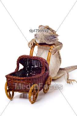 Bearded Dragon Pushing Wicker Baby Carriage Stock Photo
