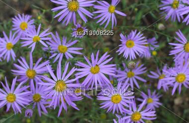 Beautiful Blue Flowers Field Stock Photo