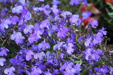 Beautiful Bright Blue Flowers Stock Photo