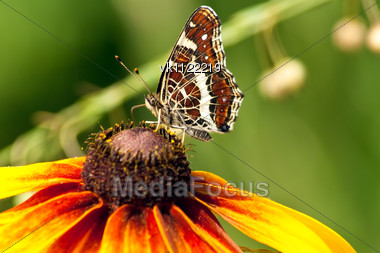 beautiful butterfly with patterned wings on flower of echinacea Stock Photo