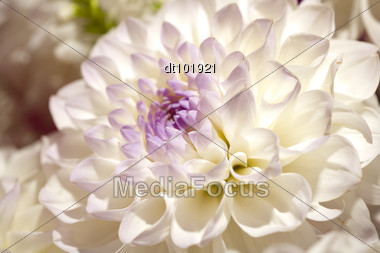 Beautiful Dahlia Petals As Pattern Or Natural Background Stock Photo