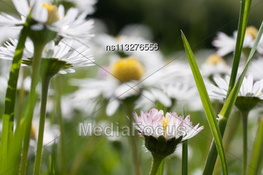 Beautiful Daisies. Floral Background. Shallow Focus Stock Photo