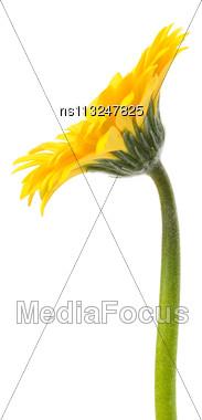 Beautiful Daisy Gerbera Flower Isolated On White Background Stock Photo