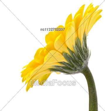 ... Photo: Beautiful Daisy Gerbera Flower Isolated On White Background