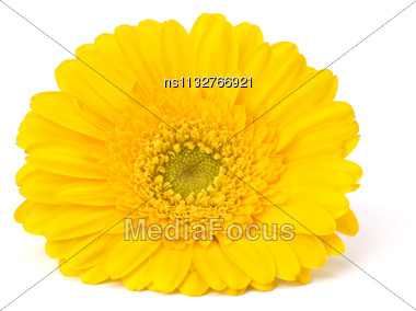 Beautiful Daisy Gerbera Flower Isolated On White Background Stock Photo