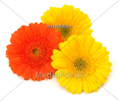 Beautiful Daisy Gerbera Flowers Isolated On White Background Stock Photo