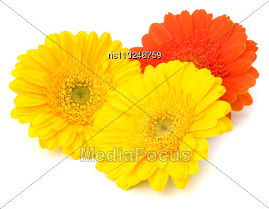 Beautiful Daisy Gerbera Flowers Isolated On White Background Stock Photo