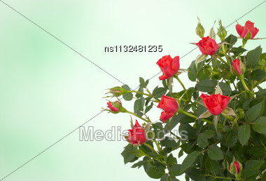 Beautiful Floral Background. Roses Over Blurred Pink Backdrop Stock Photo