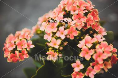 Beautiful Flowers In The Garden Greenhouse Kalanchoe Stock Photo