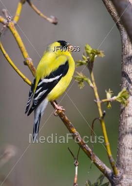 Beautiful Goldfinch Stock Photo