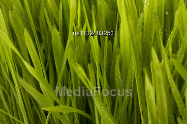 Beautiful Grass With Early Dew Background Stock Photo